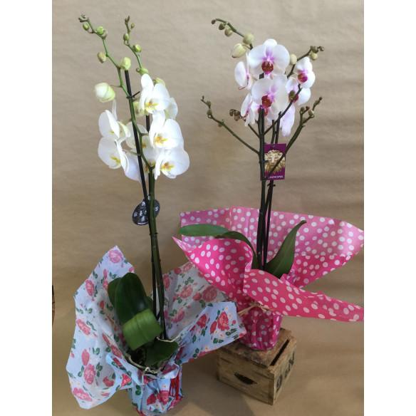 Orquidea regalo